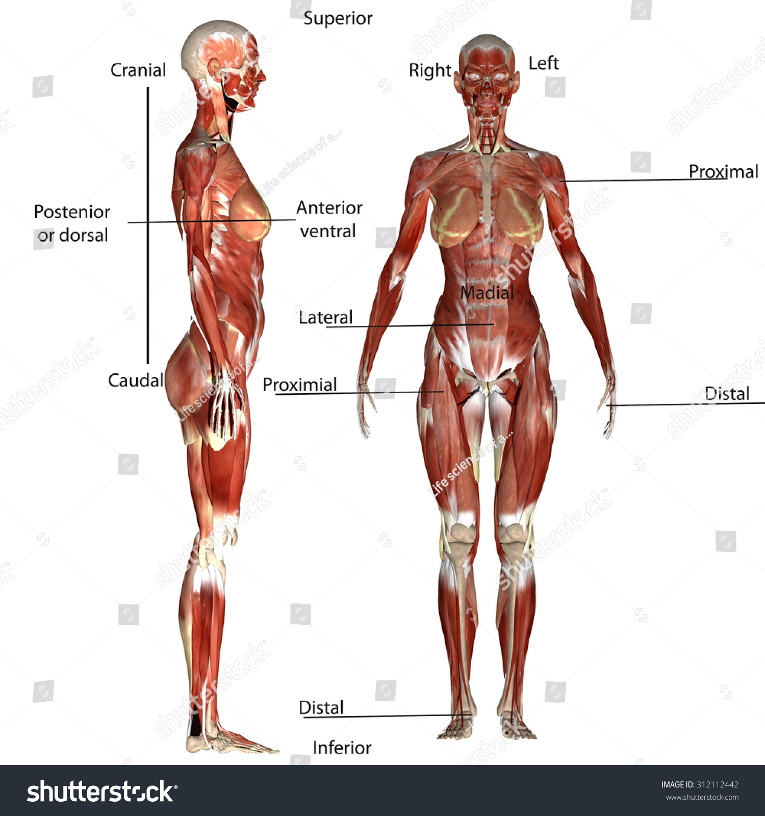 Human Body Muscles Stock Illustration 312112442 - Shutterstock