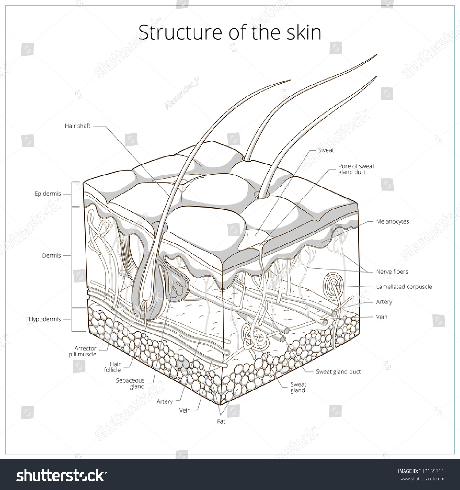 Skin Structure Diagram Animals - All Kind Of Wiring Diagrams •