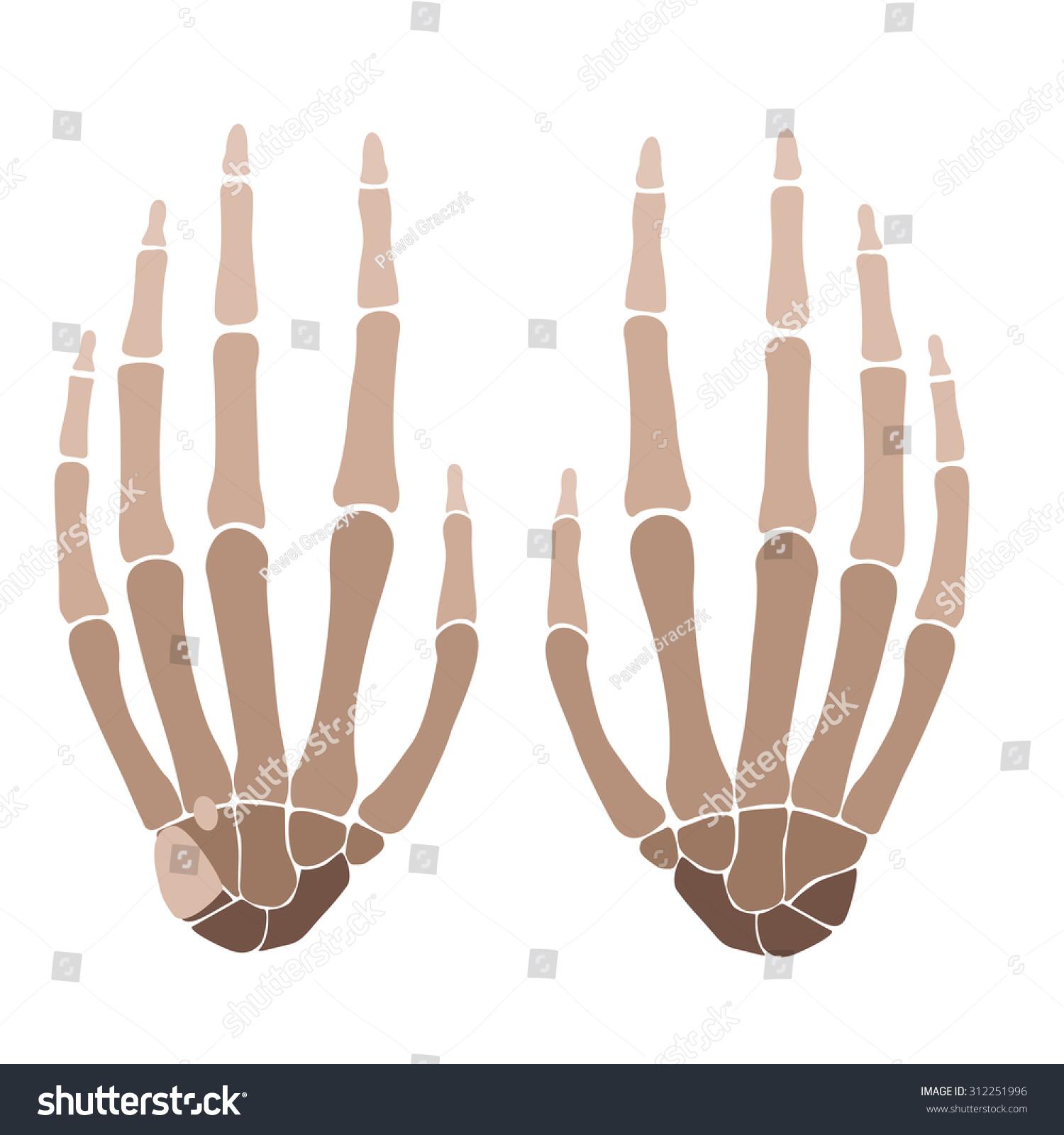 Vector Illustration Human Hand Bones Anatomy Stock Vector (Royalty ...