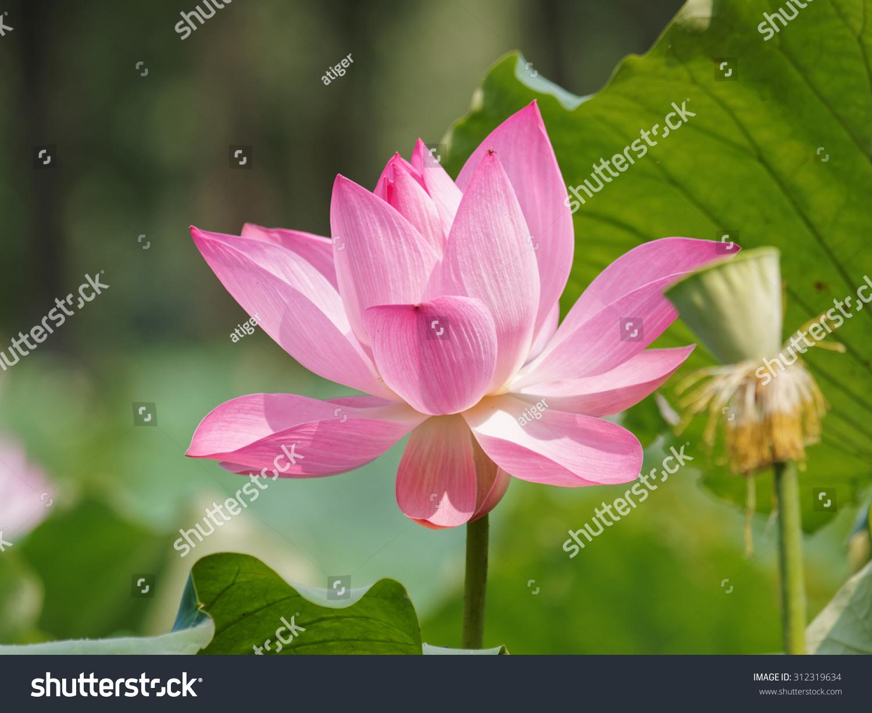 Summer Flowers Series Lotus Flower Lotus Stock Photo Royalty Free