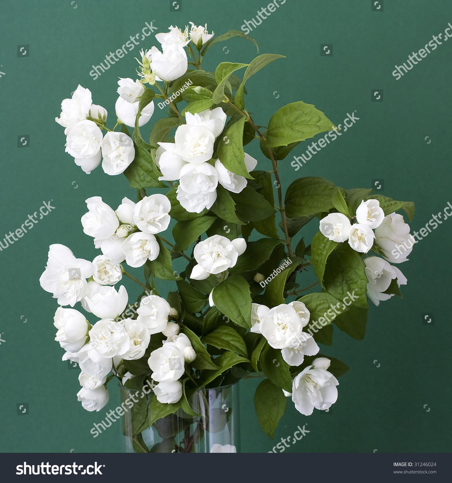 Bunch Jasmine Flowers Stock Photo Royalty Free 31246024 Shutterstock