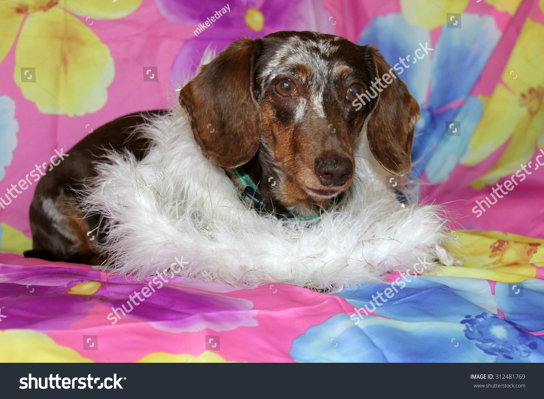 Beautiful Dachshund Puppy Aka Wiener Dog Stock Photo Edit Now 312481769