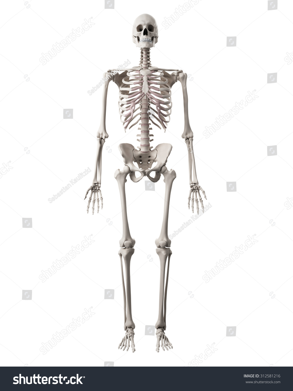 Medically Accurate Illustration Human Skeleton Stockillustration