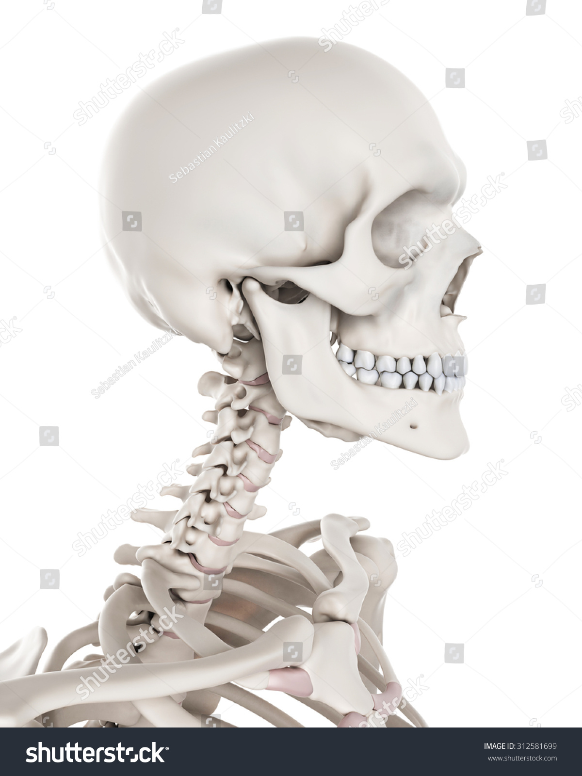 Medically Accurate Illustration Skeletal System Neck Stock