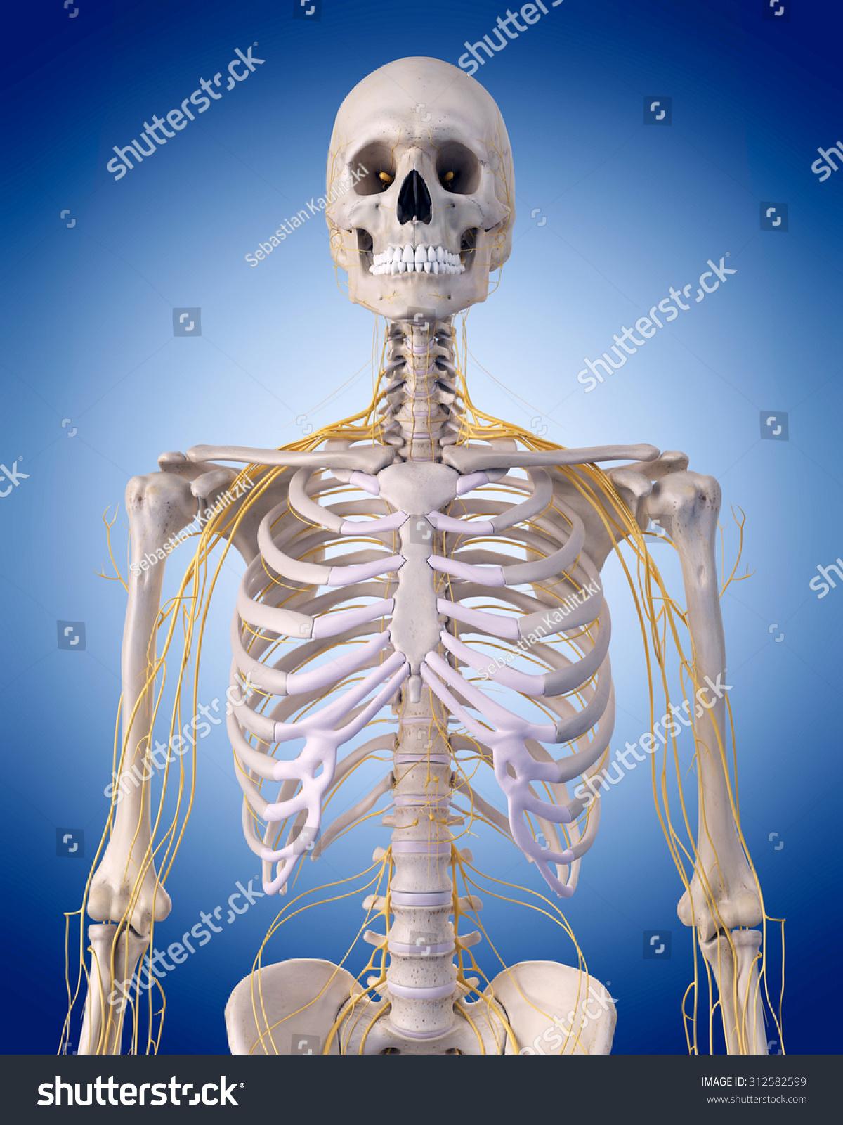 Medically Accurate Illustration Nerves Upper Body Stock Illustration