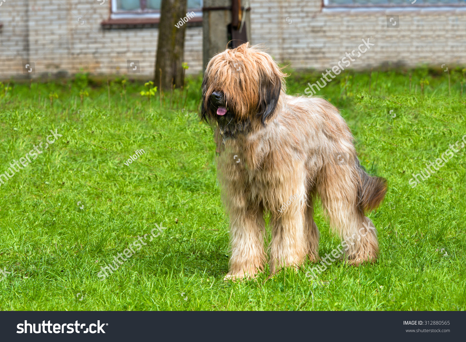 Briard stands. The Briard stands on the grass in the park.   #312880565