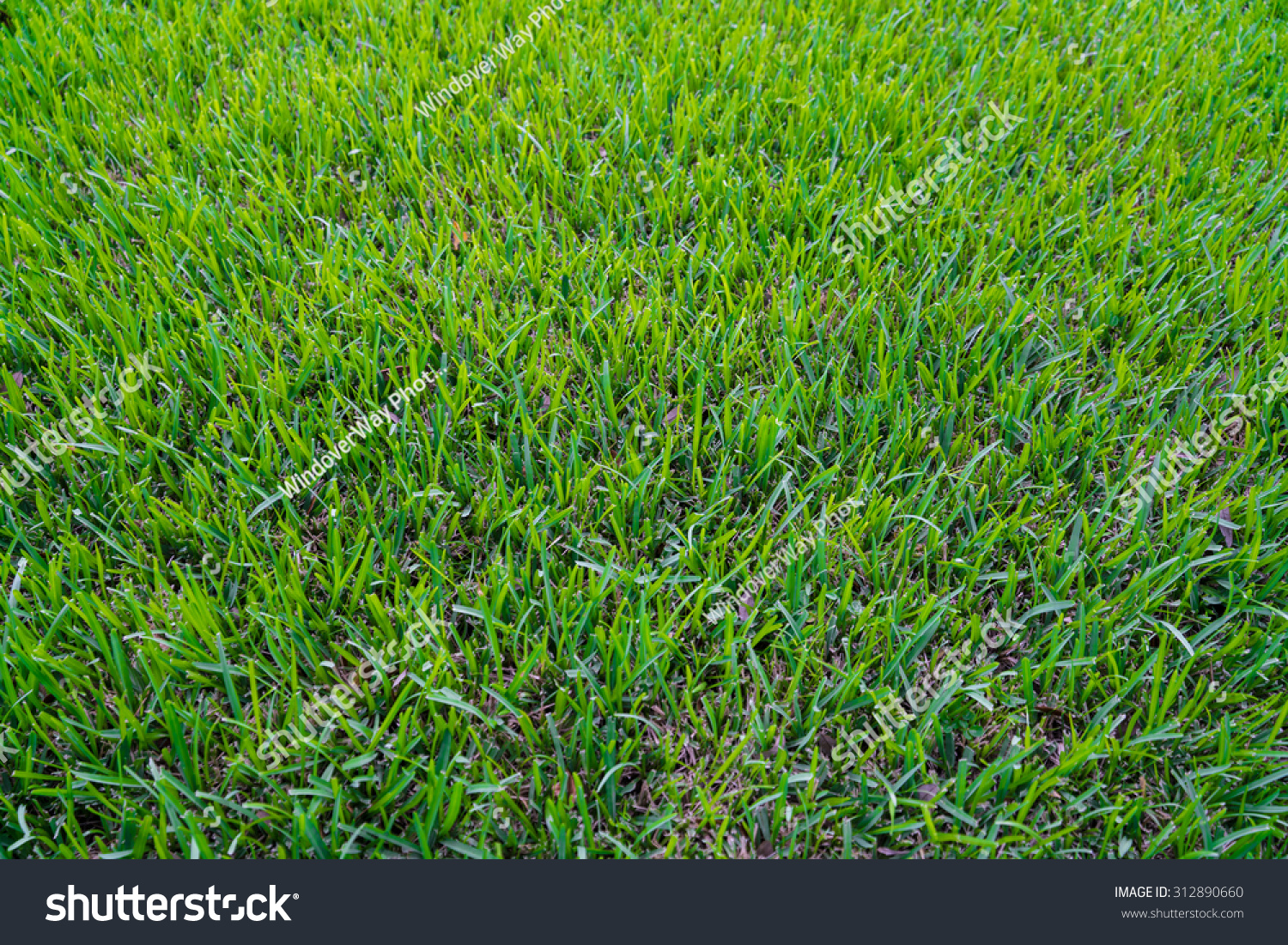 Green St Augustine Grass Stock Photo (Edit Now) 312890660
