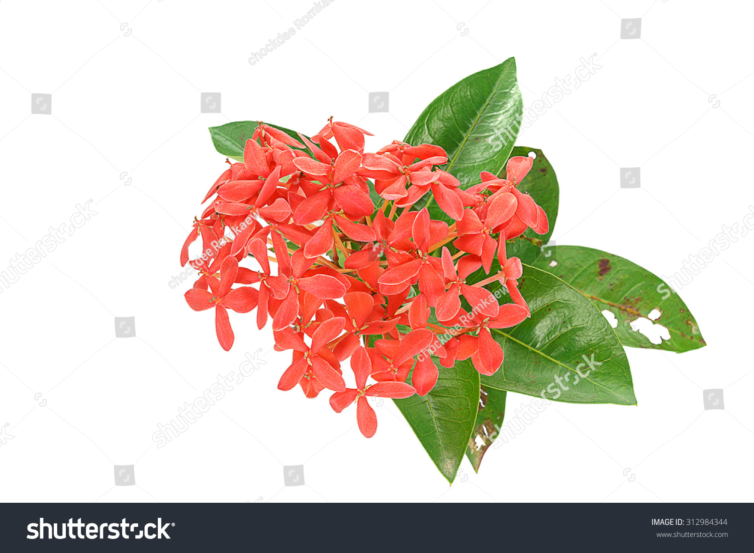 Red Pink Ixora Flower,With small flowers that come together in a ...
