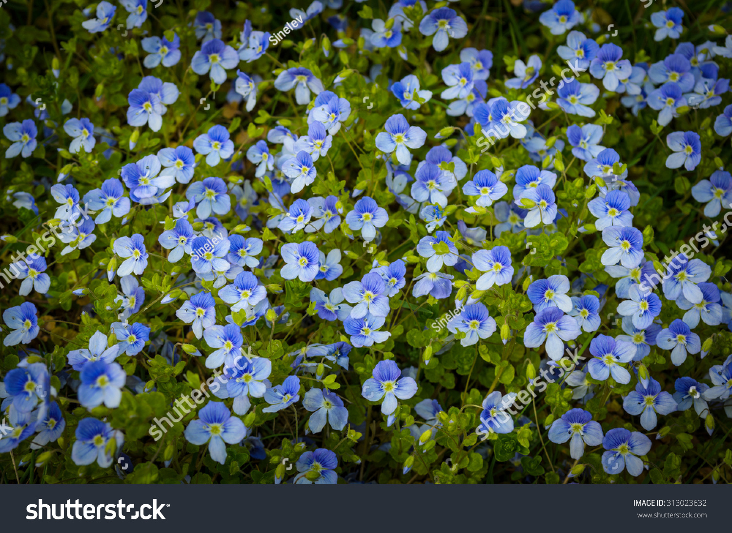 Tiny Blue Flowers Grass Stock Photo Edit Now 313023632 Shutterstock