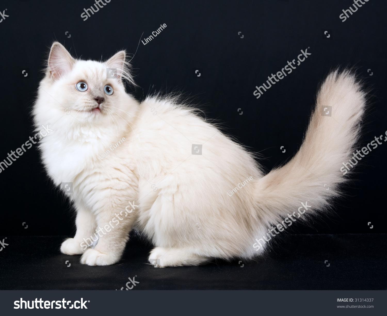Beautiful Ragdoll Kitten Black Background Stock