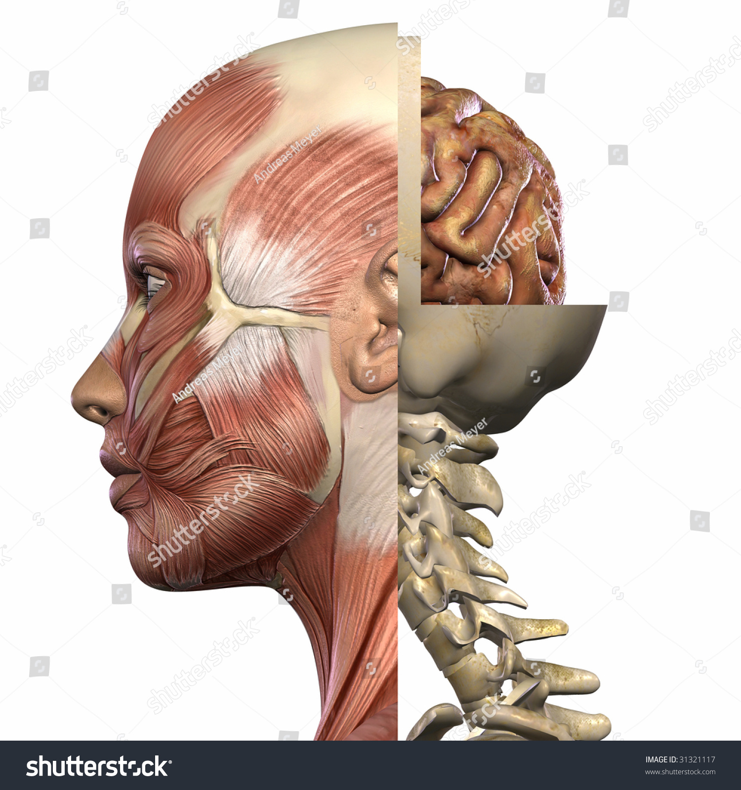 Liver Real View Female Anatomy Concept Stock Photography - female ...