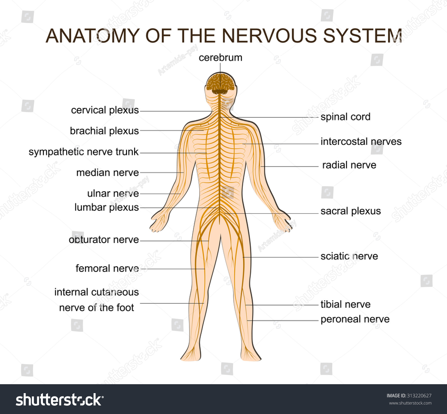 Illustration Structure Human Nervous System Stock Vector Royalty