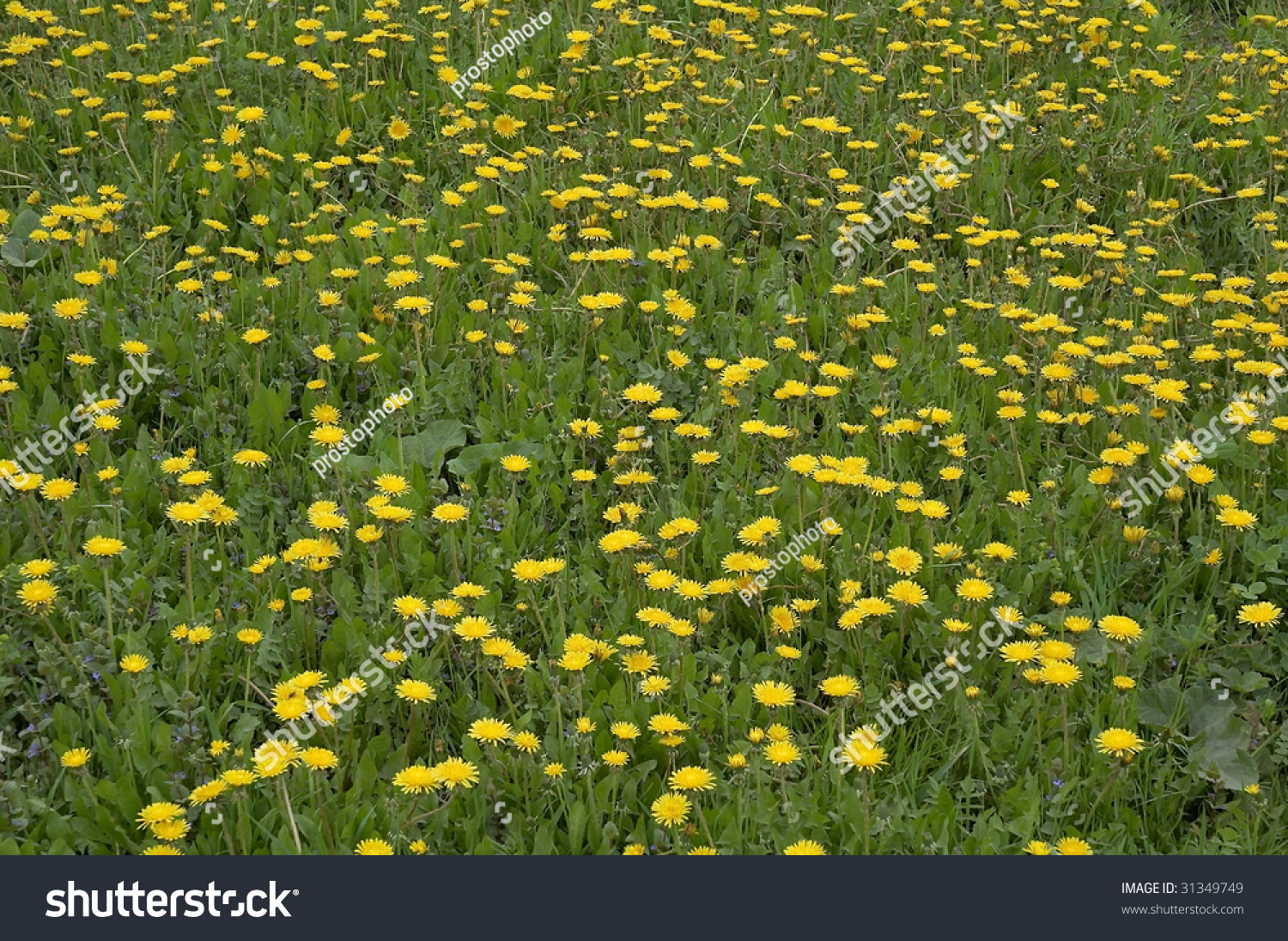Background Wild Yellow Flowers Grass Stock Photo Download Now