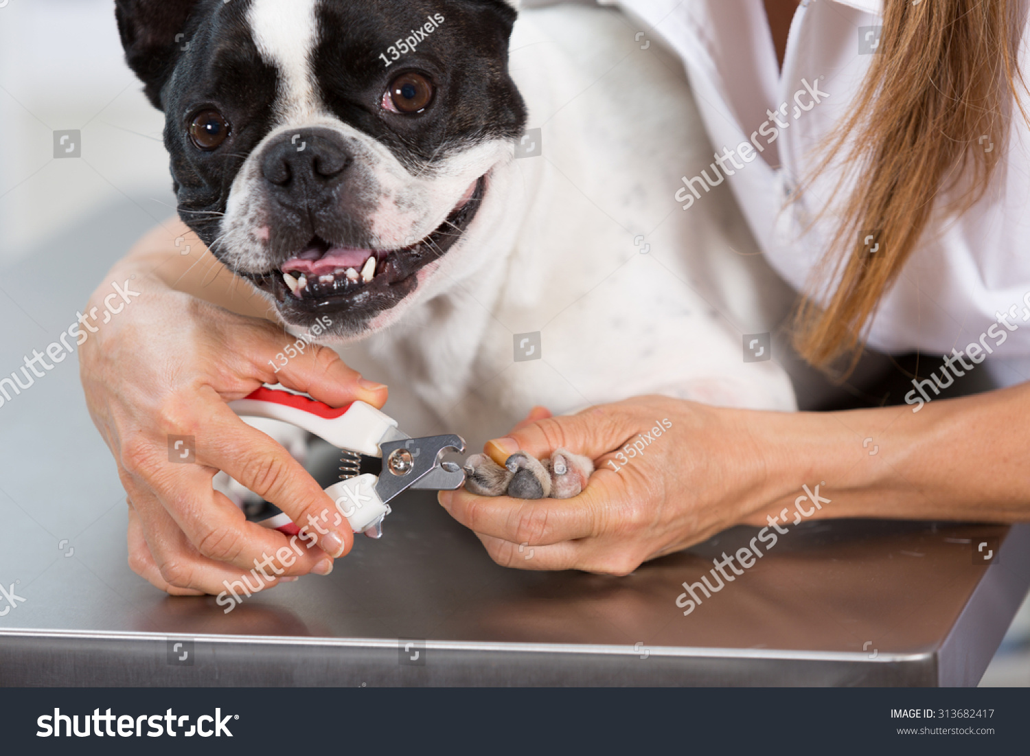 French Bulldog Canine Hairdresser Cutting His Stock Photo (Edit Now ...