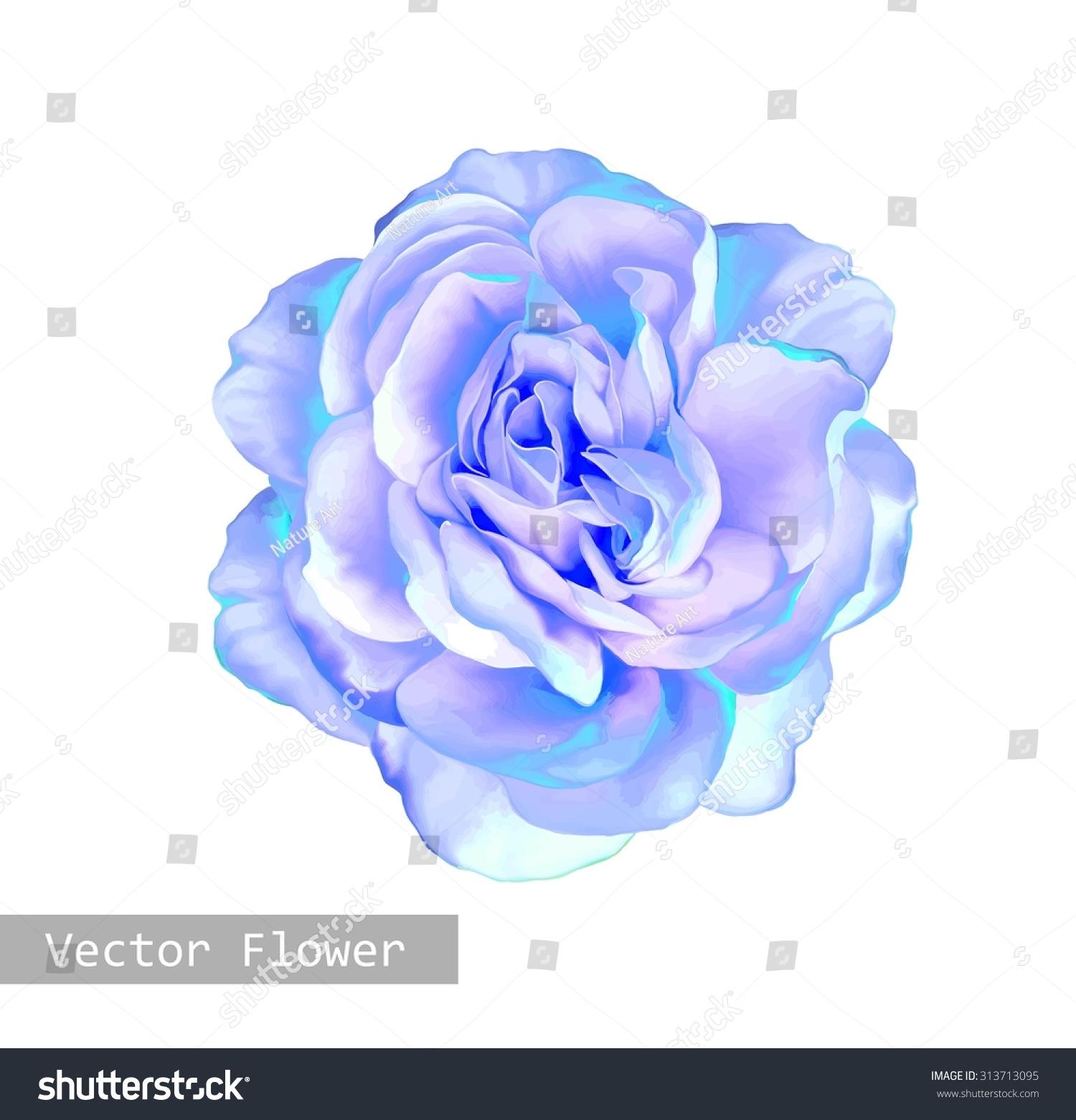 beautiful light blue rose flower isolated on white