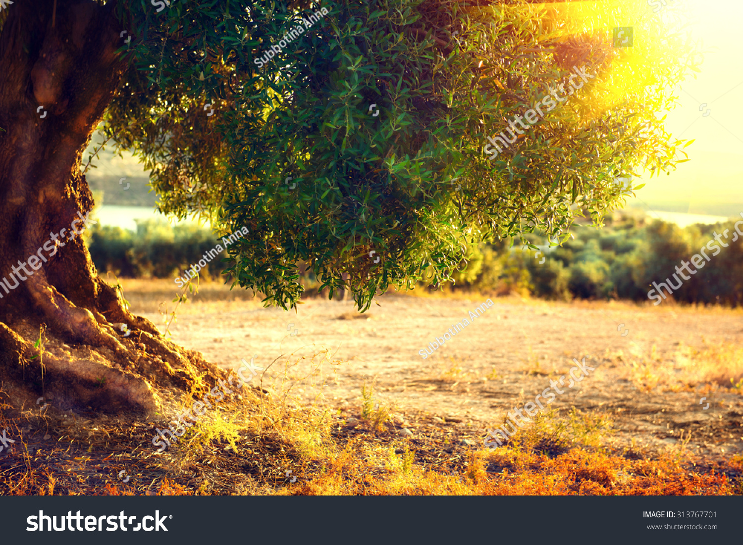 Olive trees Plantation of olive trees at sunset Mediterranean olive field with old olive tree Vegetable produce industry Seasonal nature