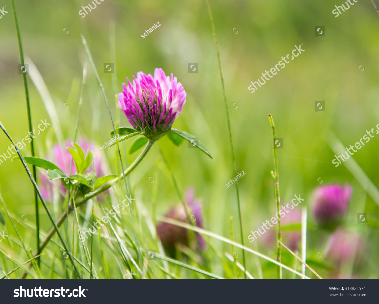 Purple Clover Flowers Nature Stock Photo Royalty Free 313822574
