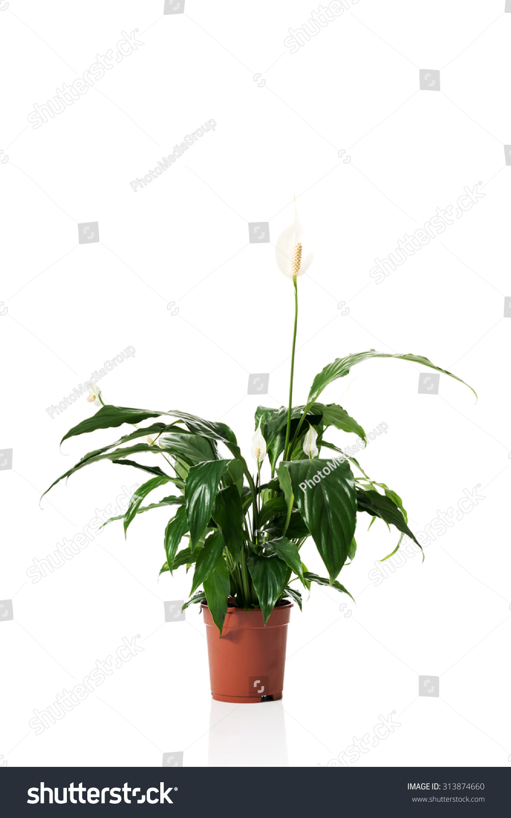 White Lily Plant Pot Stock Photo Edit Now 313874660 Shutterstock