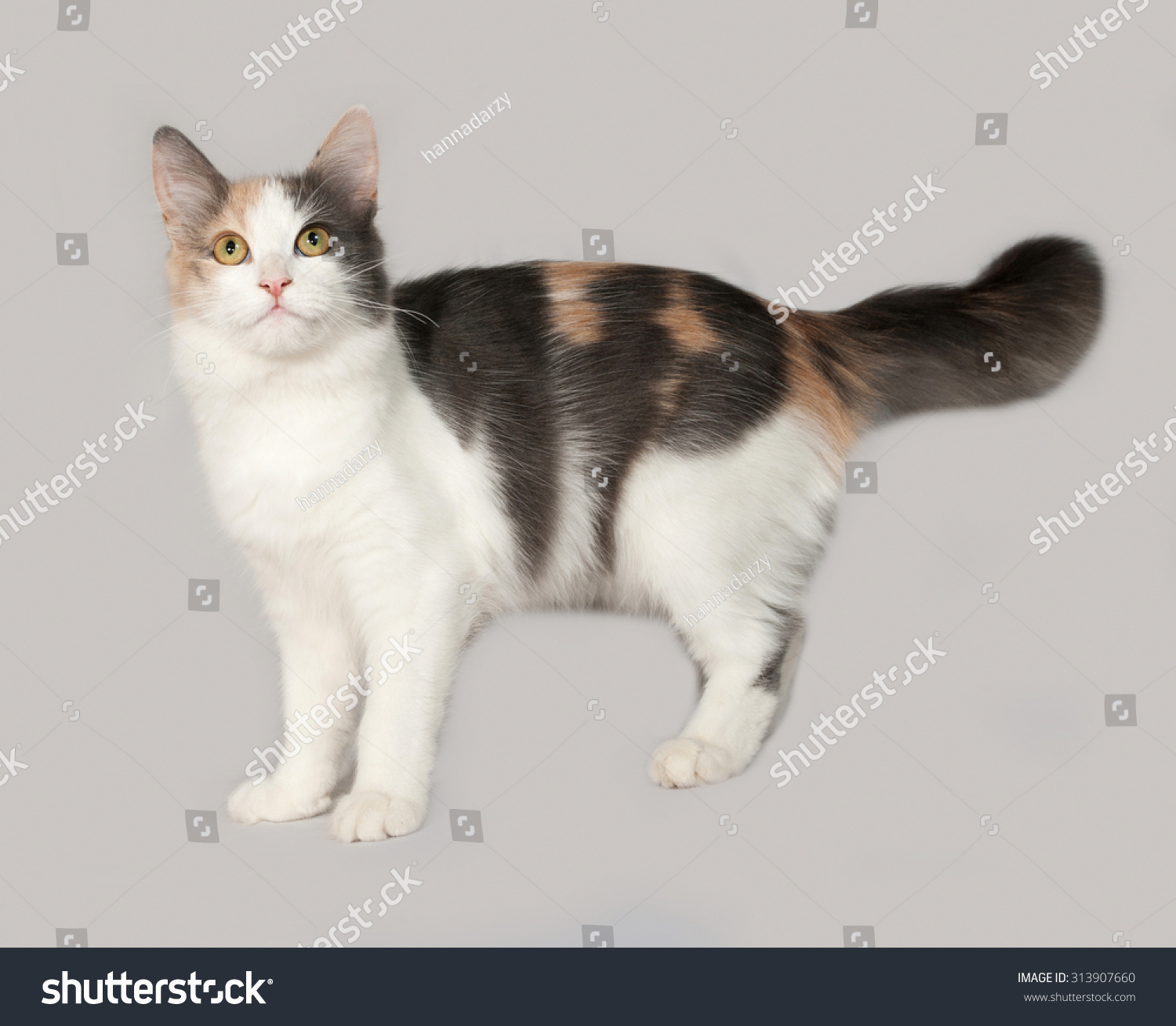 Tricolor Cat Standing On Gray Background Stock Photo 313907660 ...