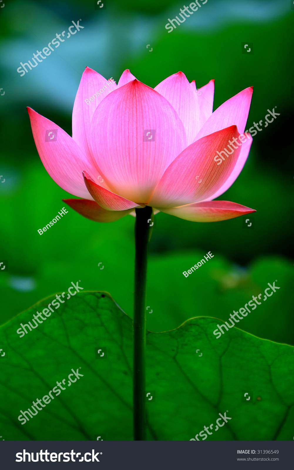 Pink Lotus Flower Growing Upright Stock Photo Edit Now 31396549