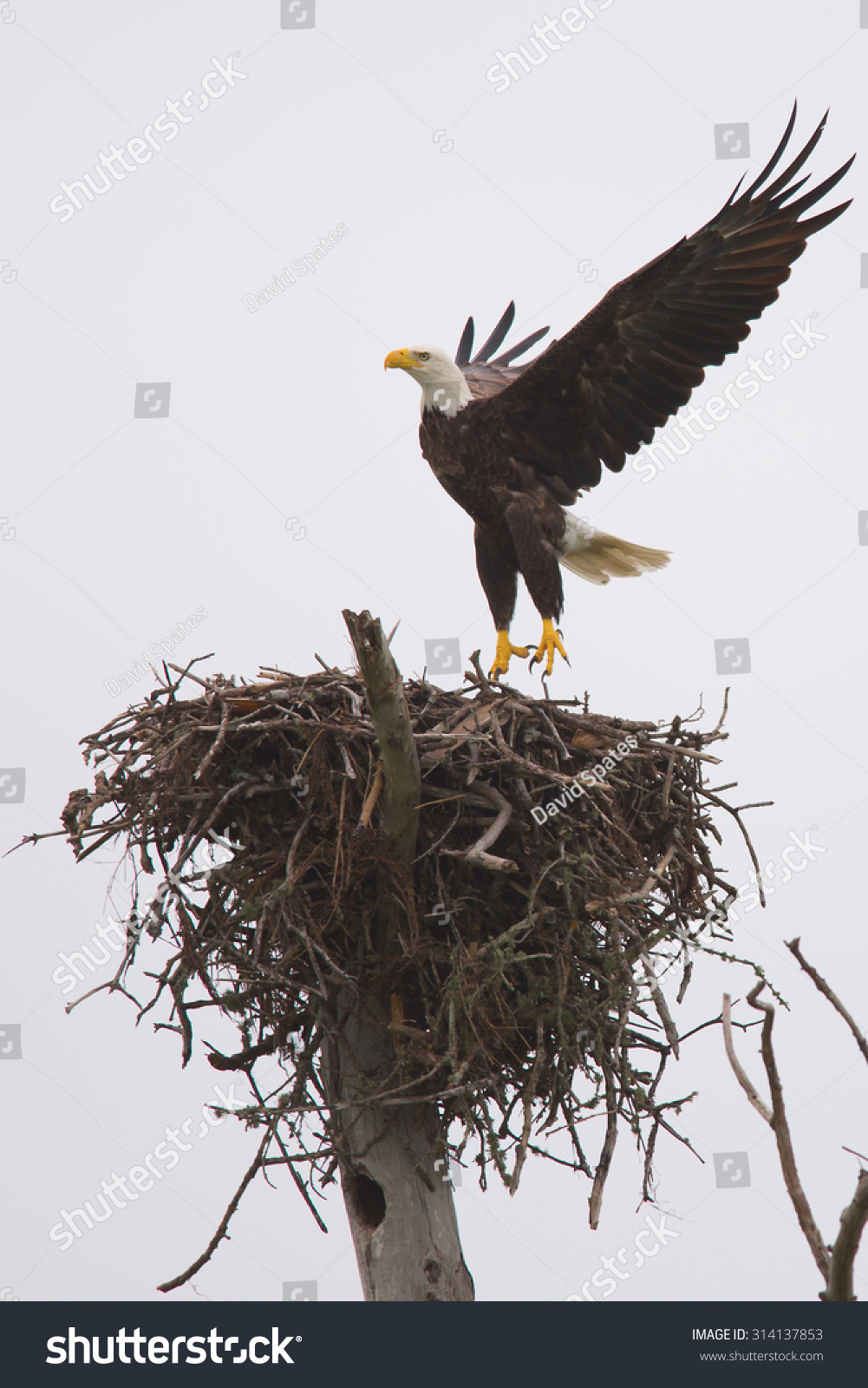 Bald Eagle Stock Photo from Shutterstock