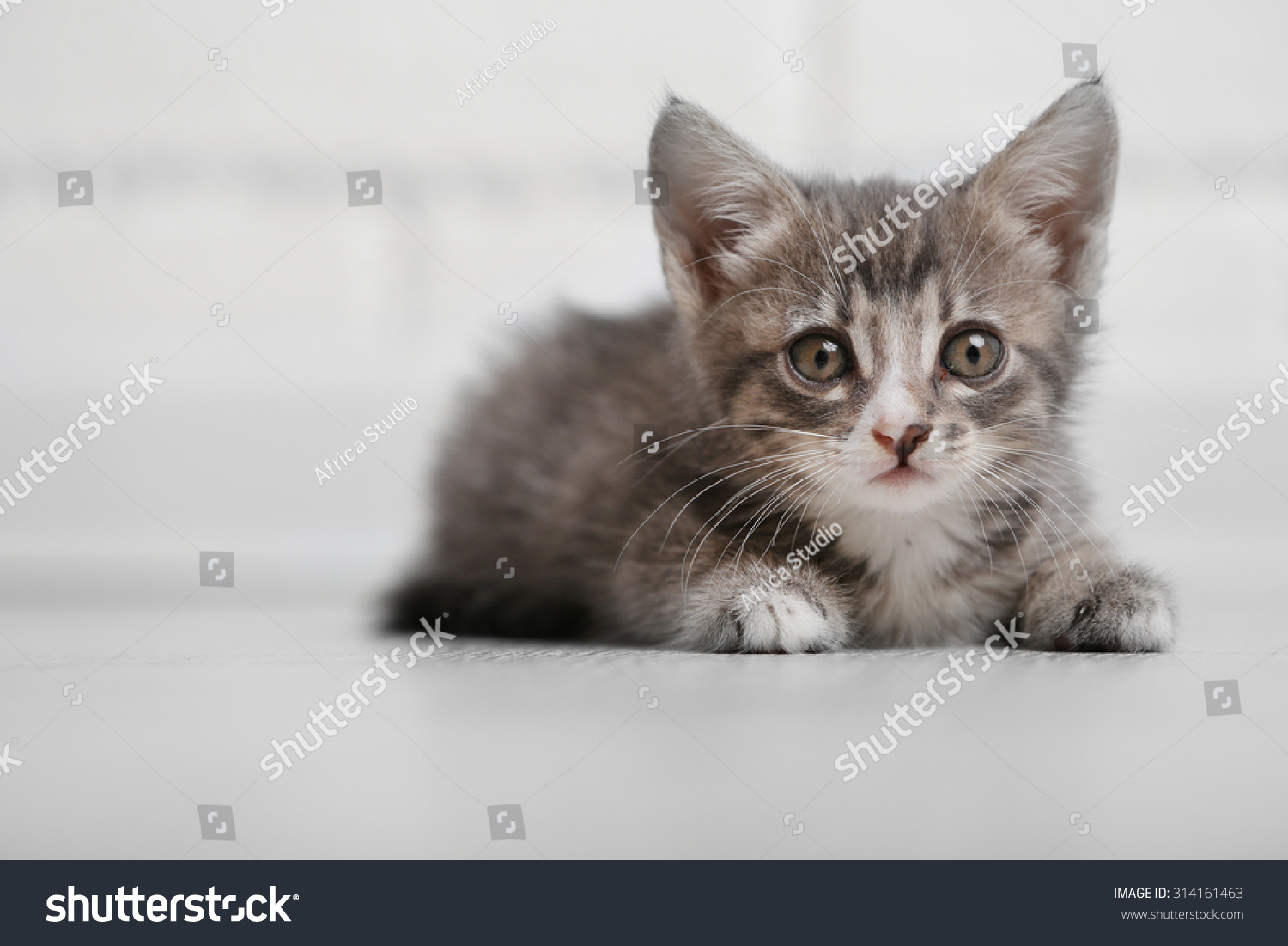 Cute Gray Kitten Floor Home Stock Shutterstock