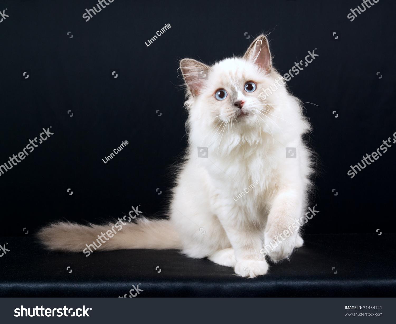 Ragdoll Kitten Black Background Stock Shutterstock
