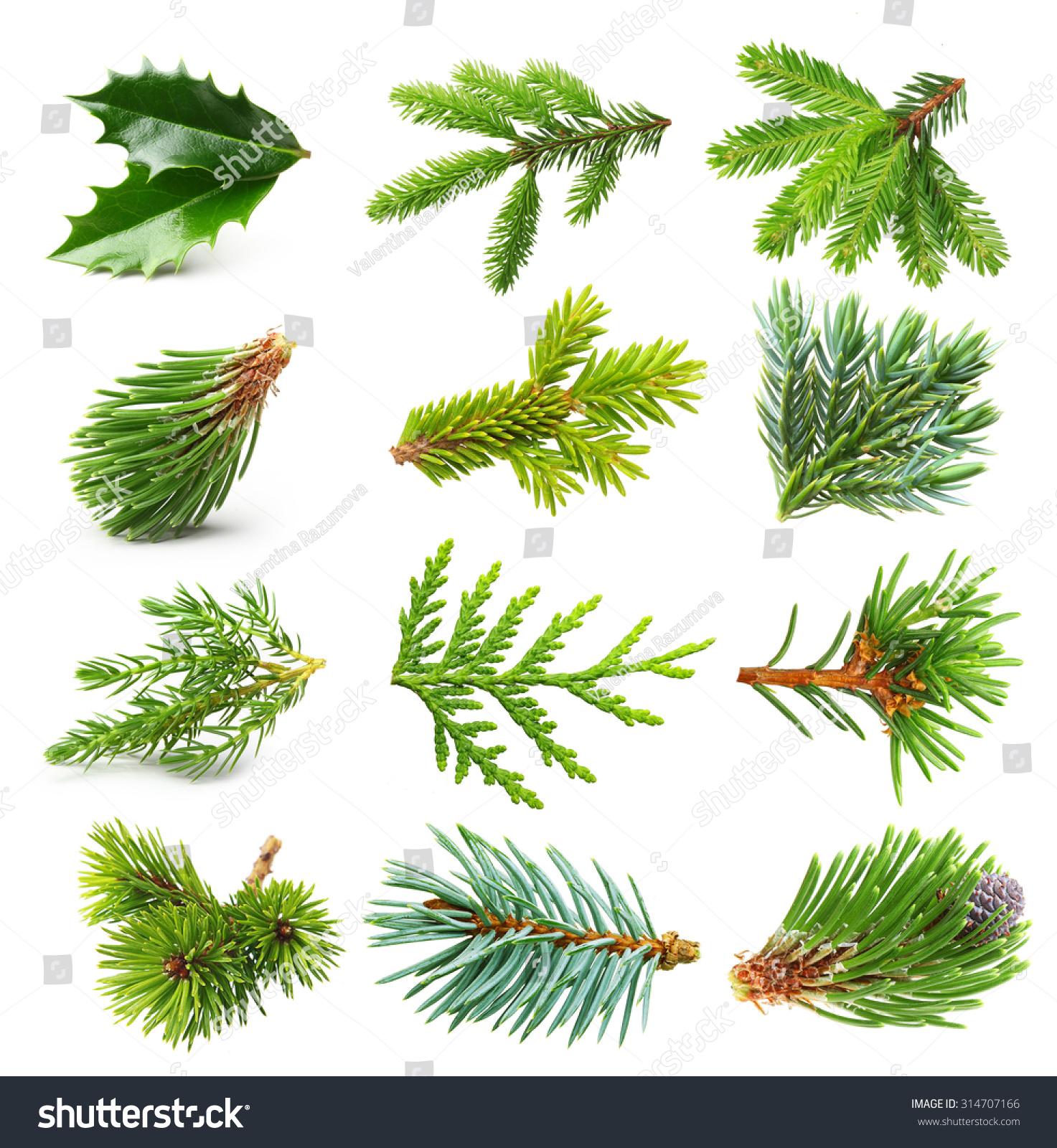 Cedar Christmas Trees