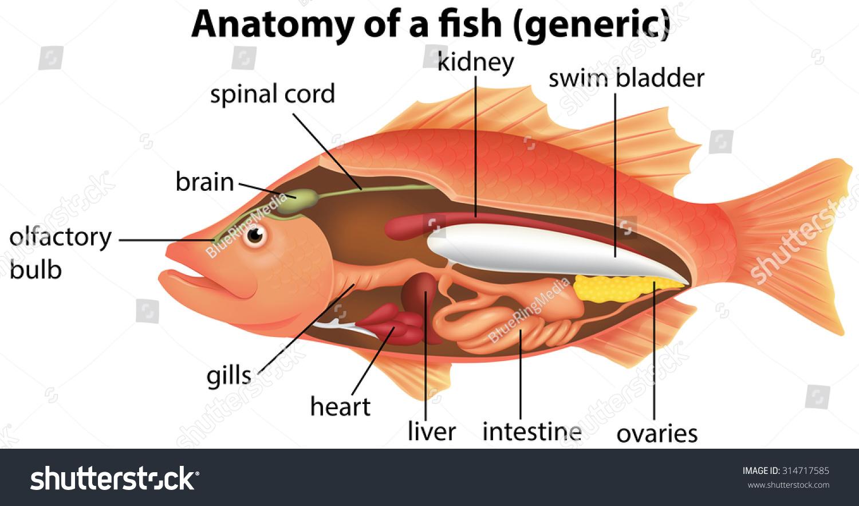 anatomy fish illustration stock vector 314717585. Black Bedroom Furniture Sets. Home Design Ideas