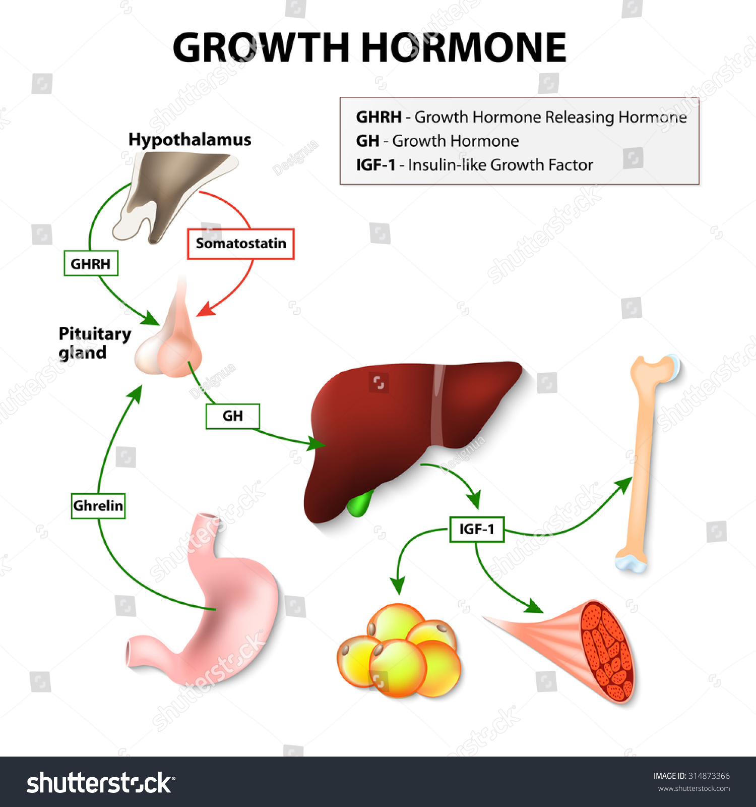 Growth Hormone Somatotropin Secreted By Pituitary Stock