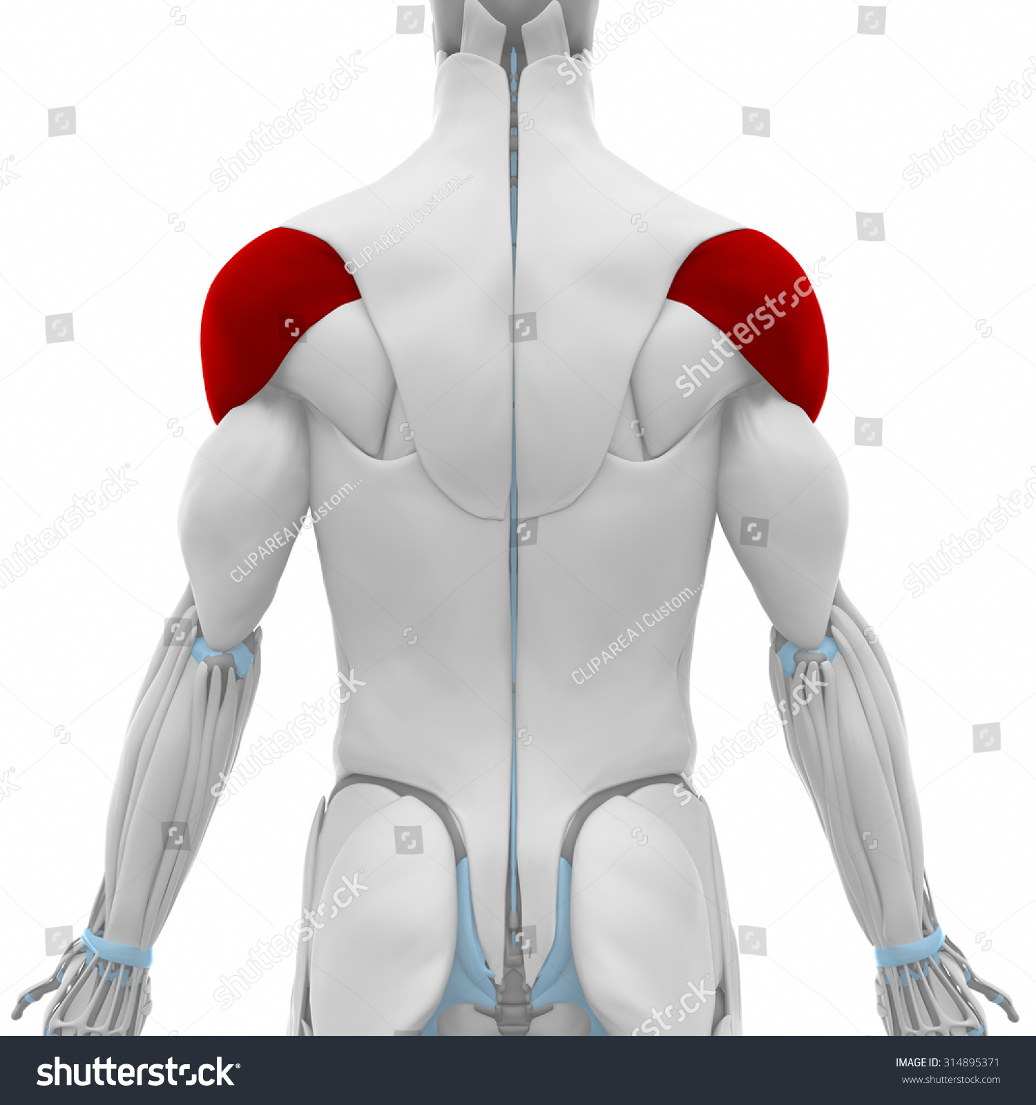Royalty Free Stock Illustration Of Deltoid Muscles Anatomy Map Stock