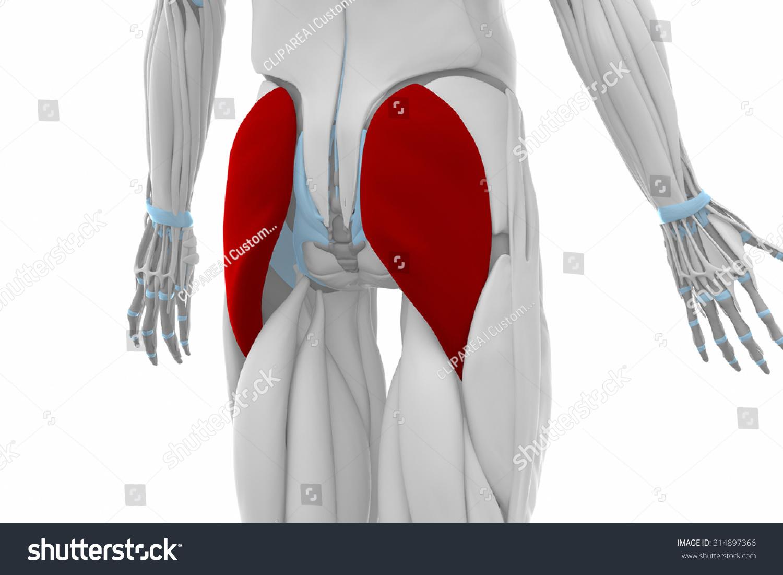 Gluteus Maximus Muscles Anatomy Map Stock Illustration 314897366 ...