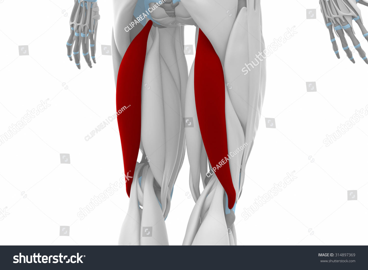 Biceps Femoris Muscles Anatomy Map Stockillustration 314897369 ...