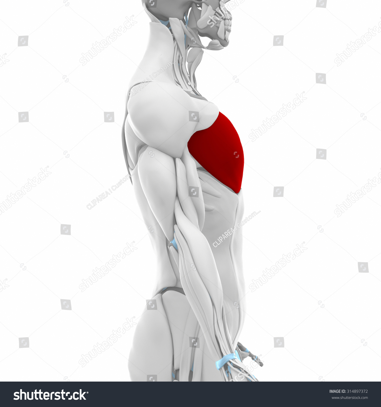Pectoralis Major Muscles Anatomy Map Stock Illustration 314897372 ...