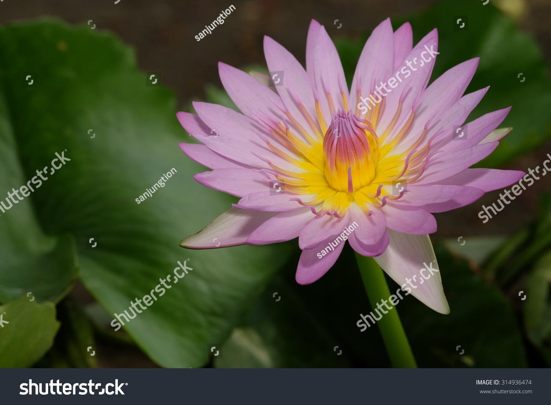 Most beautiful pink lotus stock photo royalty free 314936474 the most beautiful pink lotus izmirmasajfo