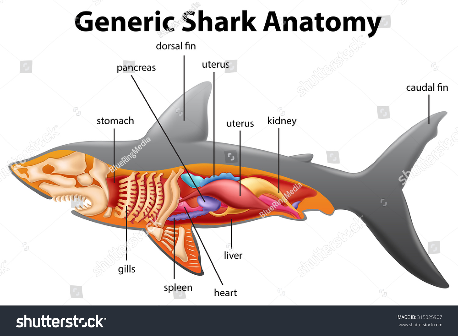 Generic Shark Anatomy Chart Illustration Stock Vector (Royalty Free ...