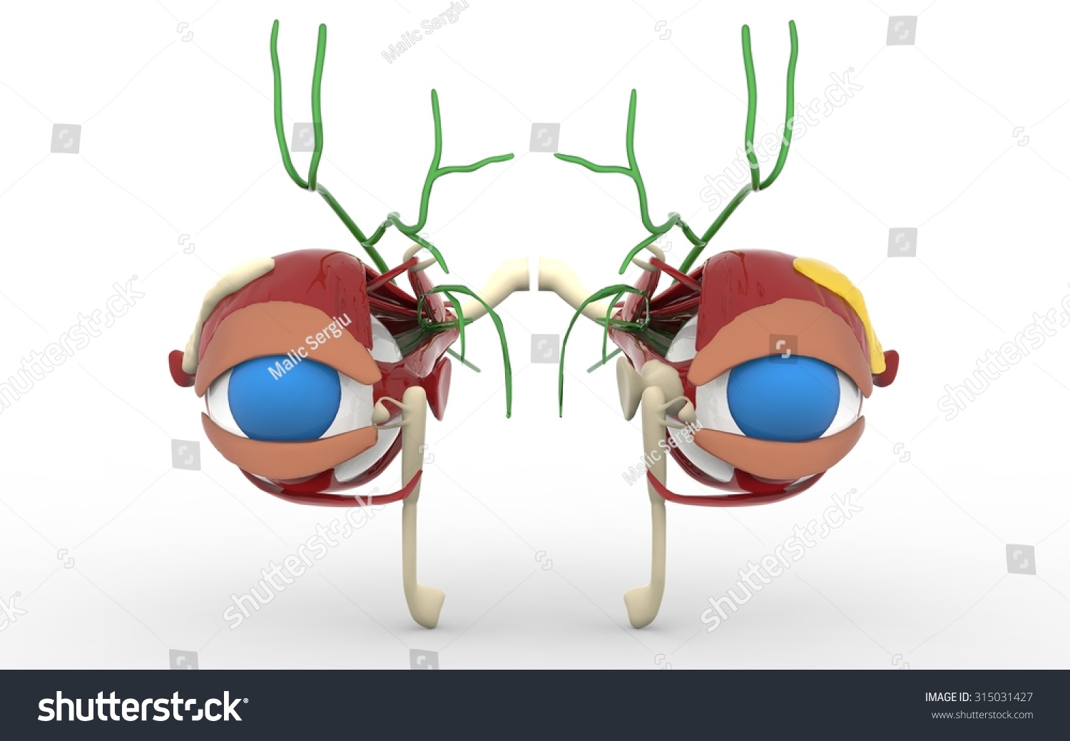 Eye Anatomy Structure Muscles Nerves Blood Stock Illustration ...