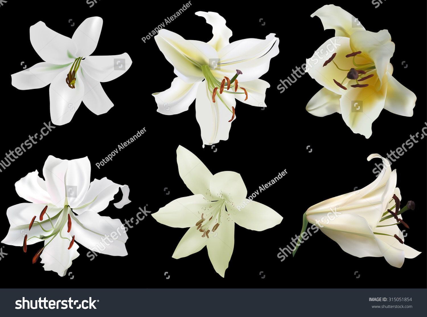 Illustration White Lily Flowers Isolated On Stock Vector Royalty