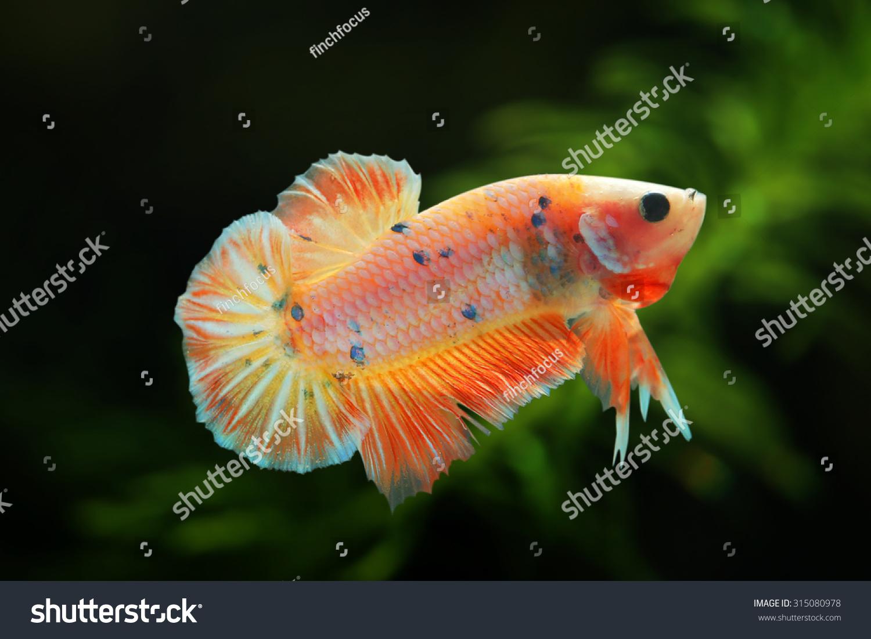 Aquarium Fish Betta Fish Fighting Beautiful Stock Photo Edit Now