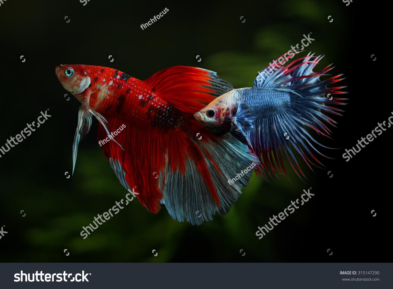 Betta Fish Fighting Beautiful Colour Pattern Stock Photo (Royalty ...