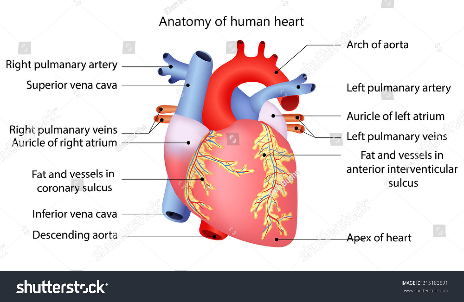 Anatomy Human Heart Stock Vector Royalty Free 315182591 Shutterstock