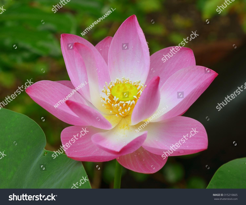 Pink lotus flower beautiful lotus stock photo royalty free pink lotus flower beautiful lotus izmirmasajfo Images