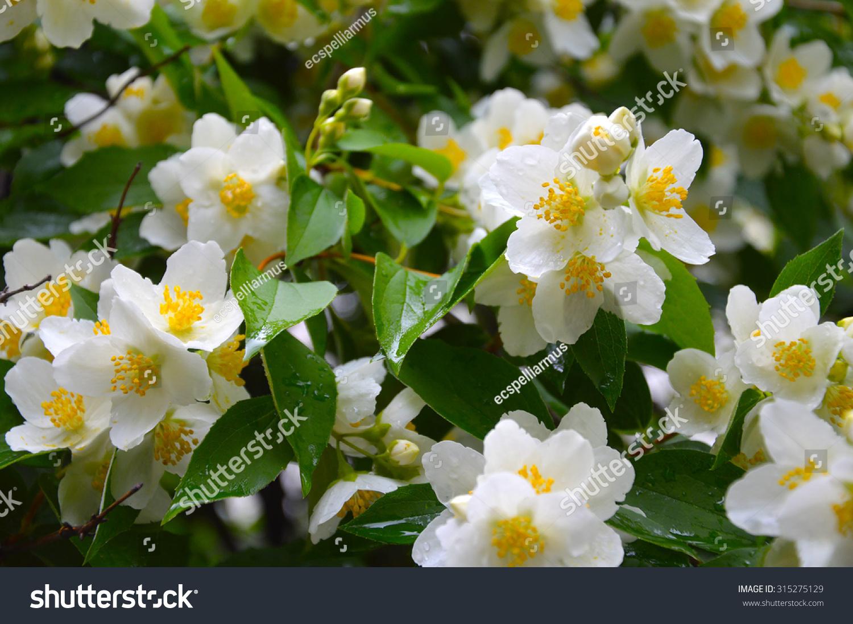 Blooming jasmine white flowers on bush stock photo 315275129 blooming jasmine white flowers on a bush of jasmine jasmine raindrops on flowers izmirmasajfo Choice Image