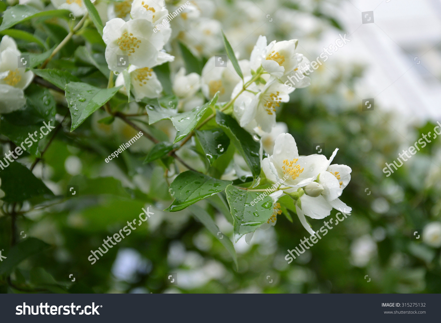 Blooming Jasmine White Flowers On Bush Stock Photo Edit Now