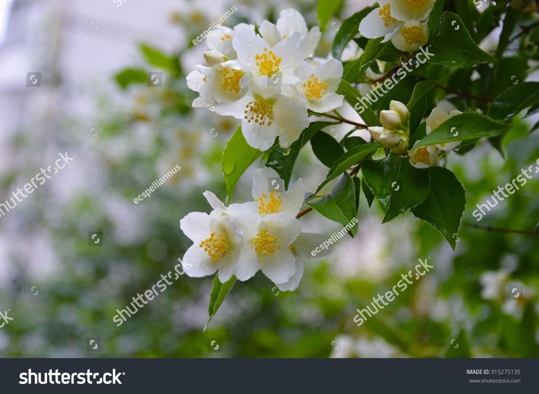 Blooming jasmine white flowers on bush stock photo royalty free blooming jasmine white flowers on a bush of jasmine jasmine raindrops on flowers izmirmasajfo