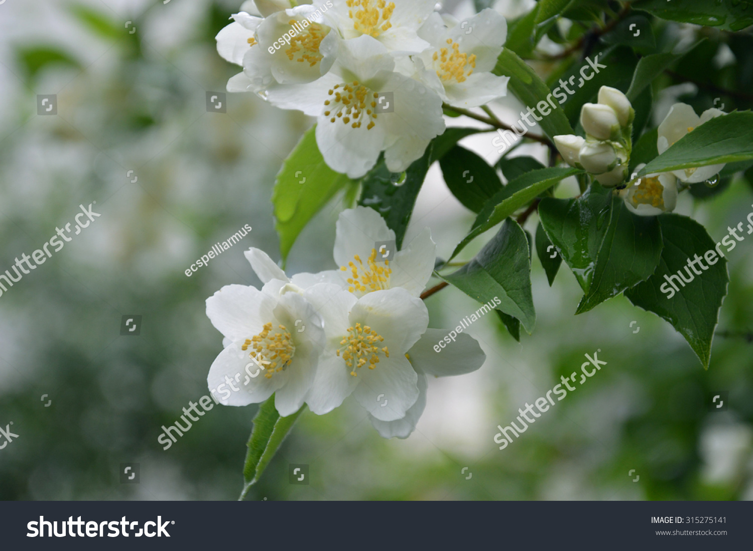 Blooming Jasmine White Flowers On Bush Stock Photo Royalty Free