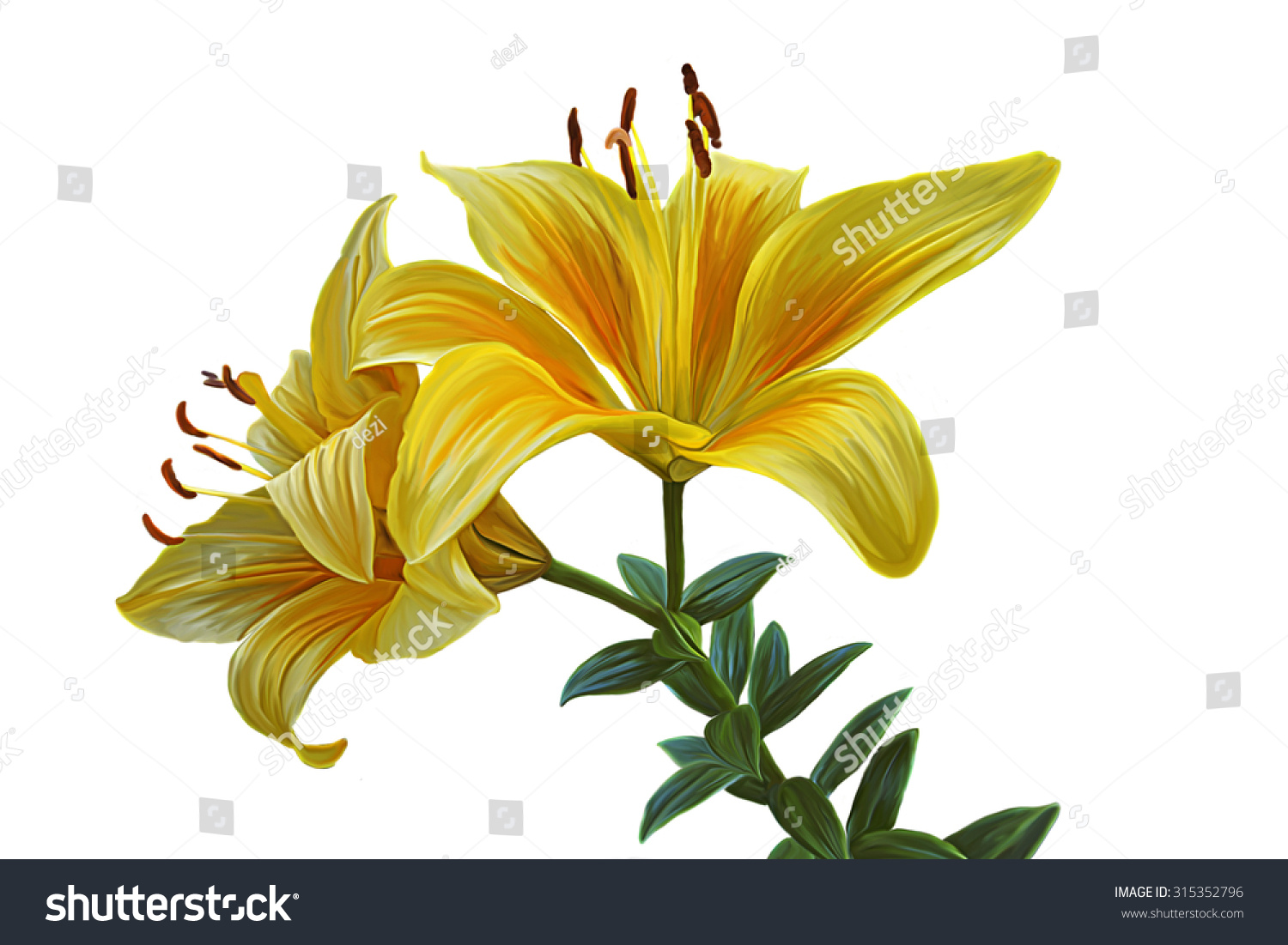 Drawing Lily Flower On White Background Stock Illustration 315352796