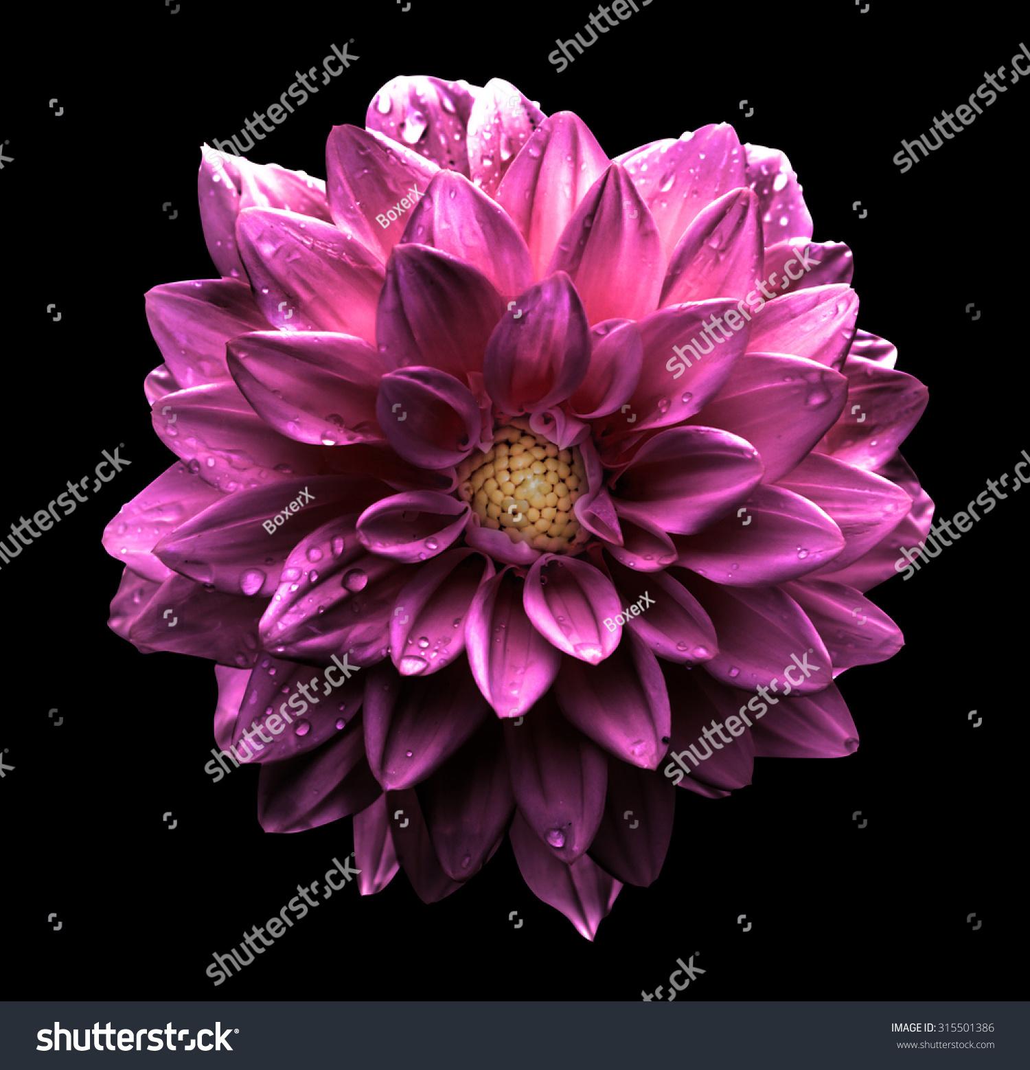 Surreal dark chrome pink flower dahlia stock photo royalty free surreal dark chrome pink flower dahlia stock photo royalty free 315501386 shutterstock izmirmasajfo