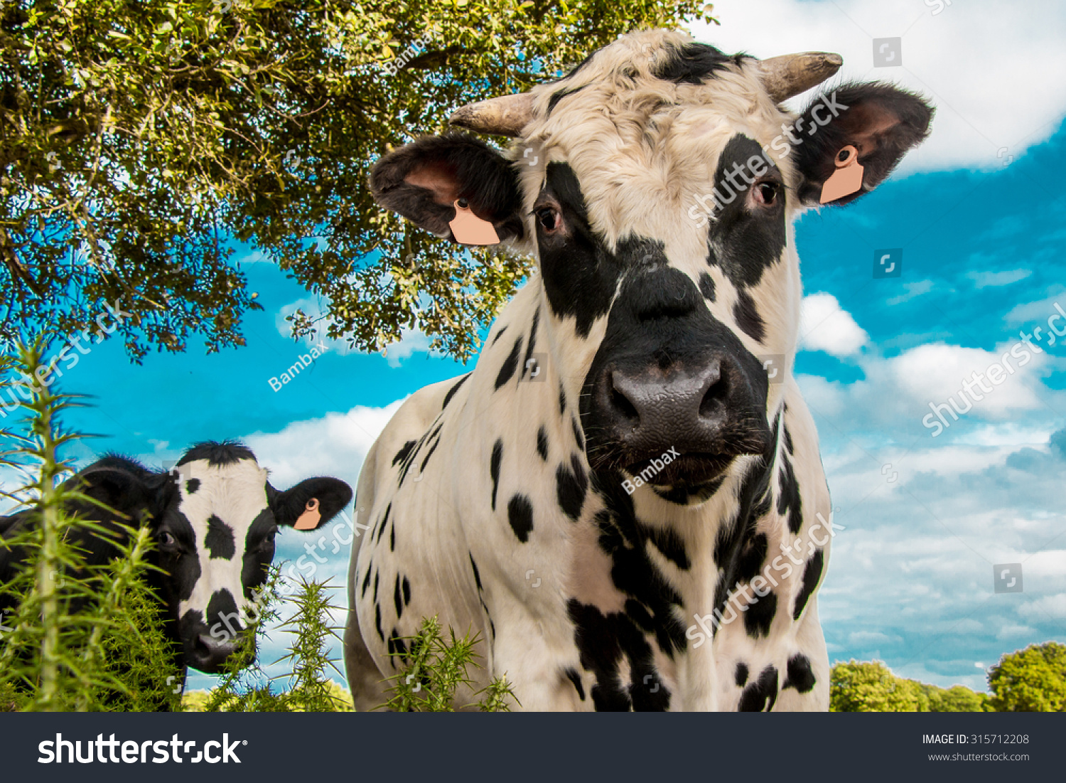 funny cattle french countryside stock photo 315712208 shutterstock