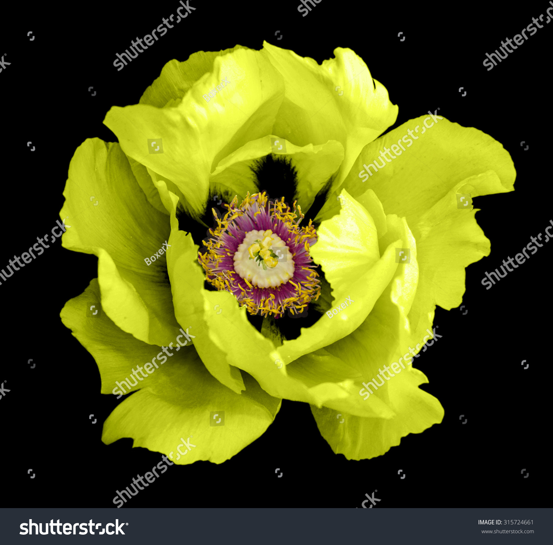 Yellow Peony Flower Macro Photography Isolated Stock Photo Edit Now